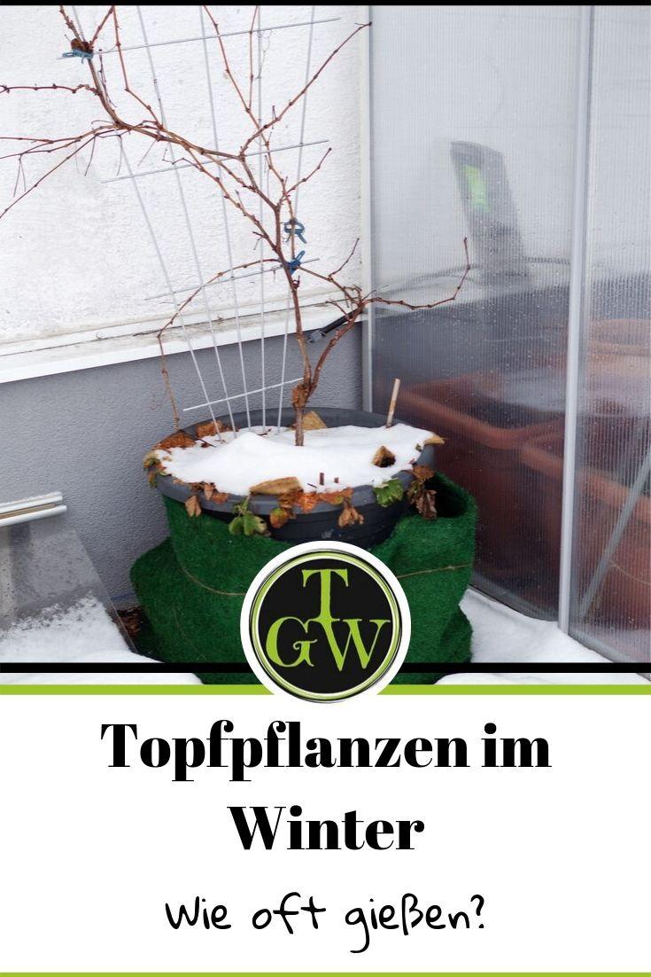 Topfpflanzen benötigen auch im Winter die richtige Pflege, um im Frühling wieder auszutreiben. Staunässe als auch Vertrocknen ist zu vermeiden. Wichtig ist ein regelmäßiges Gießen. #topfpflanzen #winter #topfgartenwelt