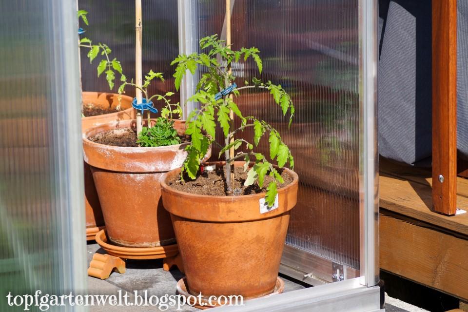 Topfgarten mit Tomatenstauden - Gartenblog Topfgartenwelt