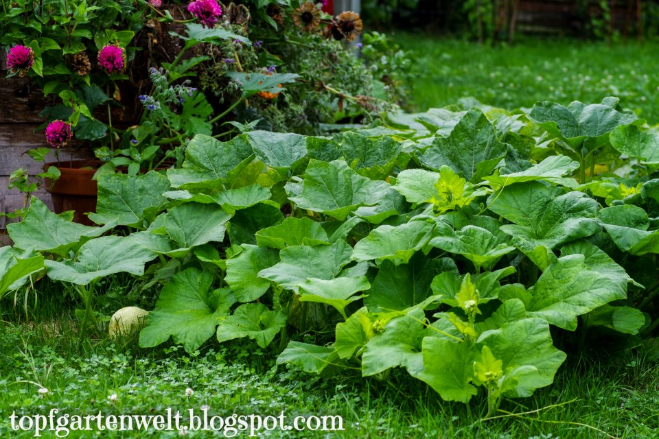 Kürbis überwuchert Hochbeet - Gartenblog Topfgartenwelt