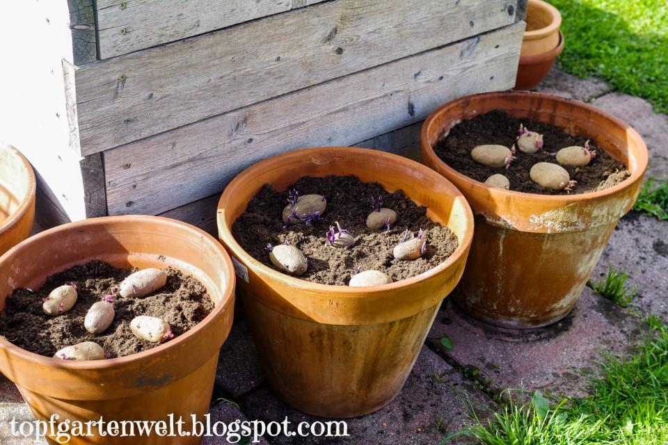 Kartoffelanbau in Töpfen und Kübeln | Kartoffel Pflanztopf | Anleitung - Gartenblog Topfgartenwelt