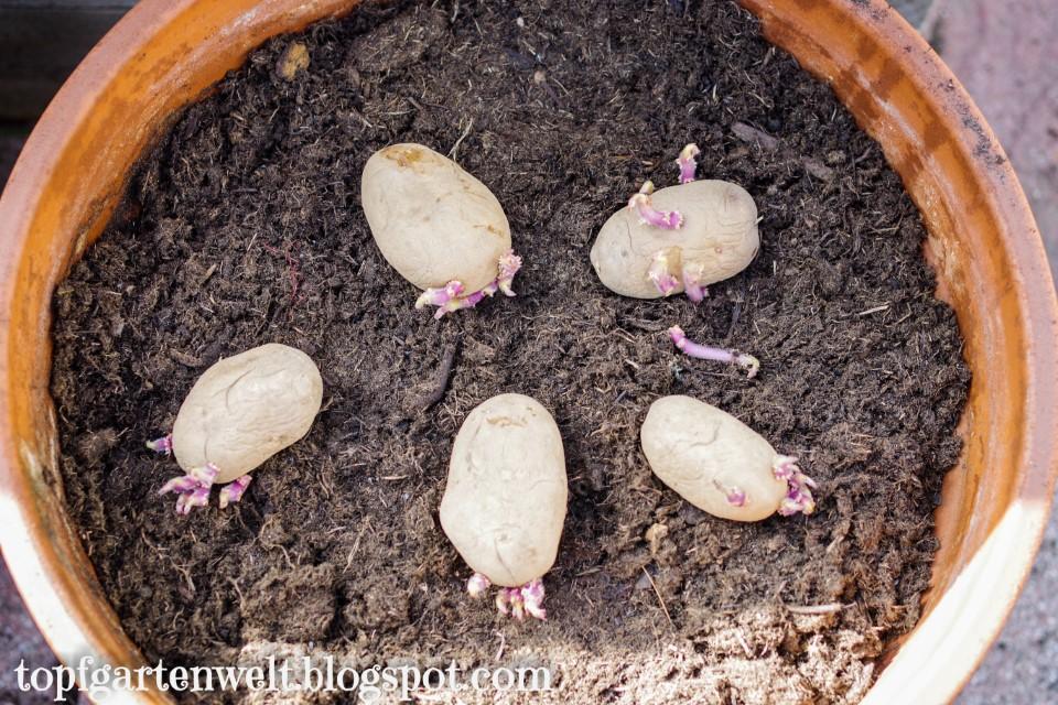 Kartoffel Pflanztopf | Kartoffel im Kübel anbauen - Gartenblog Topfgartenwelt