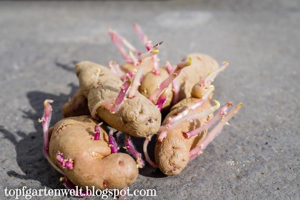 Kartoffelsorte Bamberger Hörnchen | Kartoffel Pflanztopf - Gartenblog Topfgartenwelt