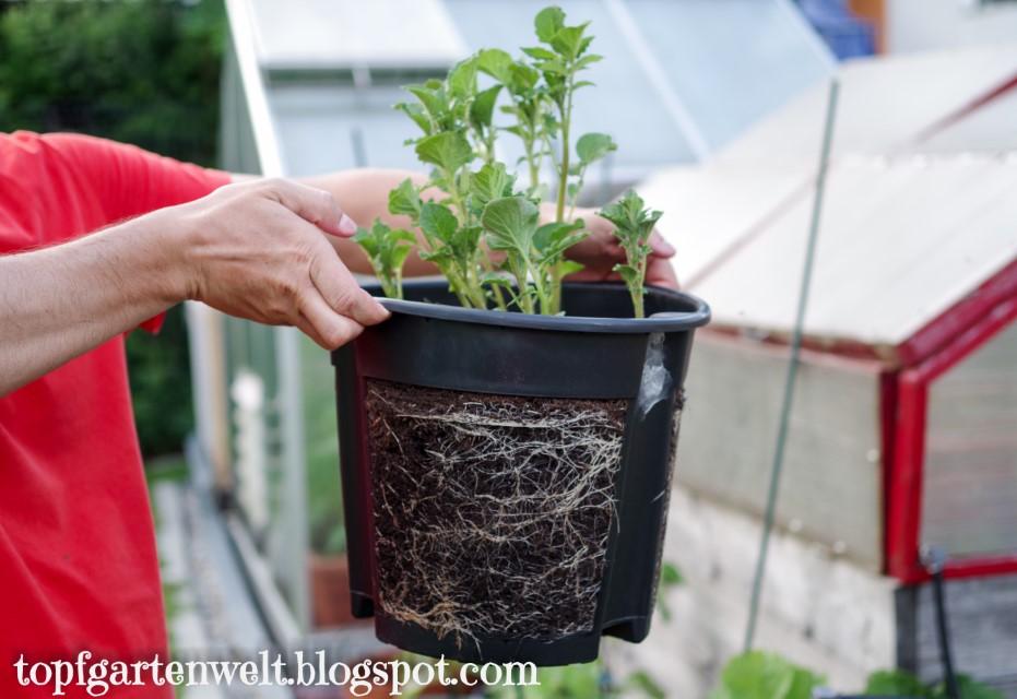 Kartoffel Entwicklung nach 3 Wochen | Gartenblog Topfgartenwelt