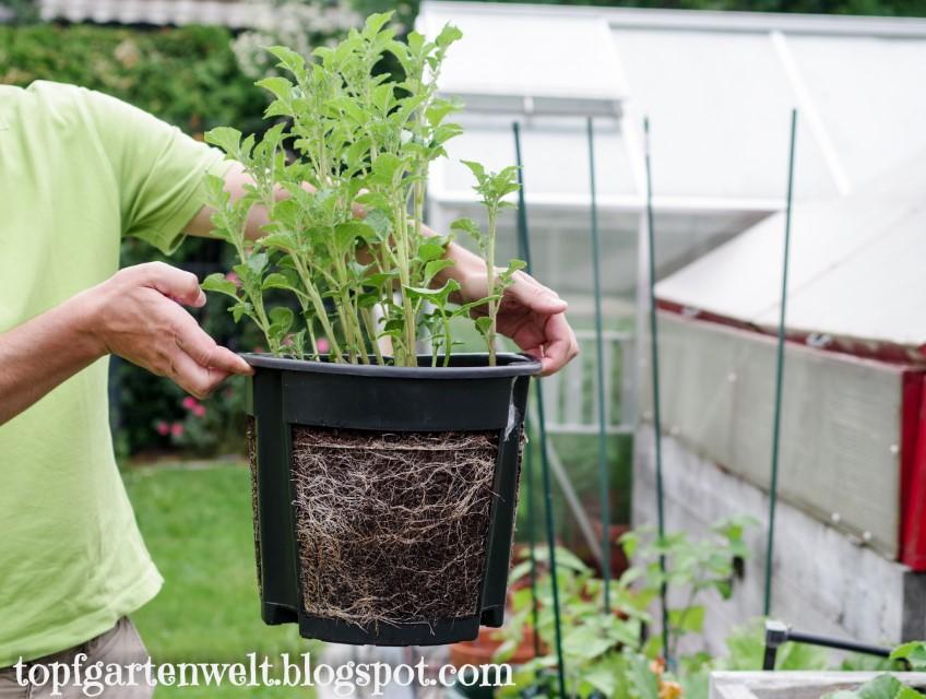 Kartoffel Entwicklung nach 4 Wochen | Gartenblog Topfgartenwelt