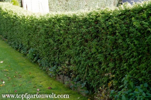 dichte Thujenhecke als perfekte Abgrenzung zum Nachbarn - Gartenblog Topfgartenwelt