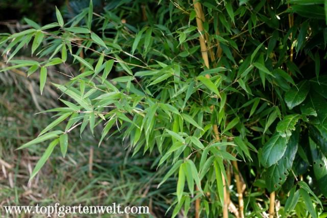 Bambus als Grundstückseinfassung und Sichtschutz - Gartenblog Topfgartenwelt