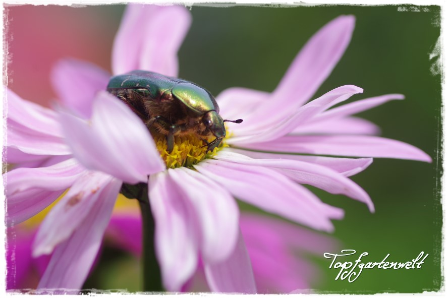 Rosenkäfer - Gartenblog Topfgartenwelt