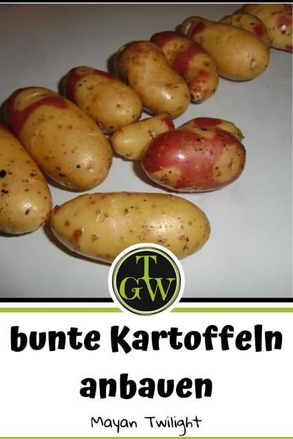 Mayan Twilight - bunte Kartoffelsorten - Gartenblog Topfgartenwelt