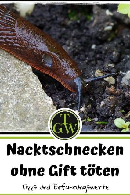 Nacktschnecken ohne Gift bekämpfen - Gartenblog Topfgartenwelt #nacktschnecken #schneckenplage #wastungegennacktschnecken #schneckenbekämpfen #rotenacktschnecke #keingift