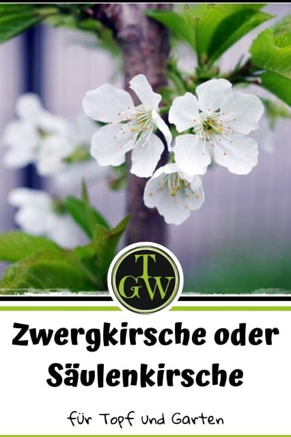 Zwergkirsche oder Säulenkirsche - Gartenblog Topfgartenwelt