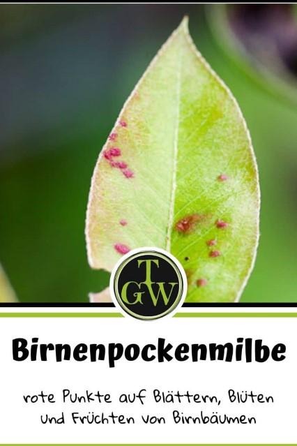 Schadbild Birnenpockenmilbe: rote Punkte auf Blättern, Blüten und Früchten.
