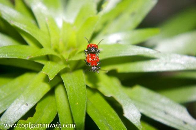Lilienhähnchen bei der Vermehrung - Gartenblog Topfgartenwelt