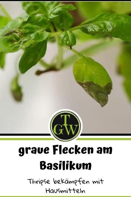 Thripse auf Basilikum verursacht graue Flecken - Gartenblog Topfgartenwelt - Pinterest