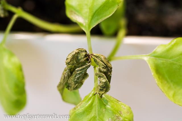 kaputte Triebspitzen Basilikum - Befall mit Thripse - Gartenblog Topfgartenwelt